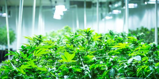 The fund managers on a high from cannabis stocks